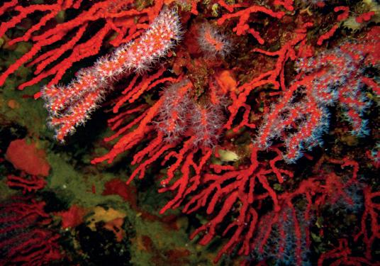 alghero-corallo-rosso