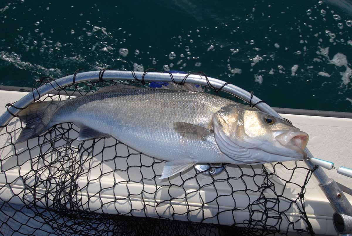 pesca spigola