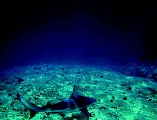 Osservazioni in Mediterraneo: squali in vista