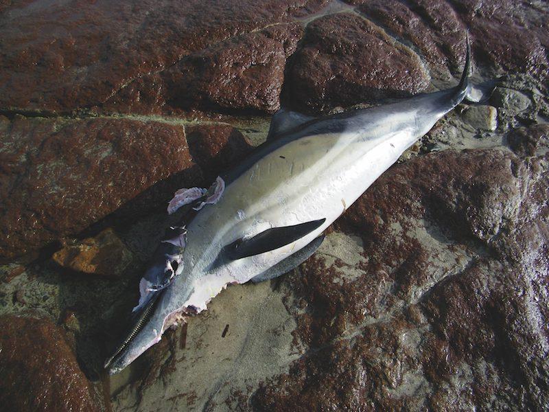 delfino comune sugli scogli